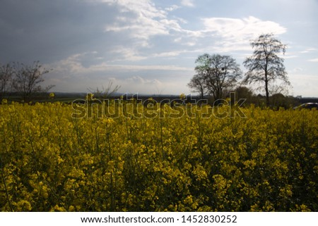 Field of rapeseed, canola or colza in Latin Brassica napus with rural road and beautiful cloud, rapeseed is plant for green energy and oil industry, springtime golden flowering rape seed field #1452830252