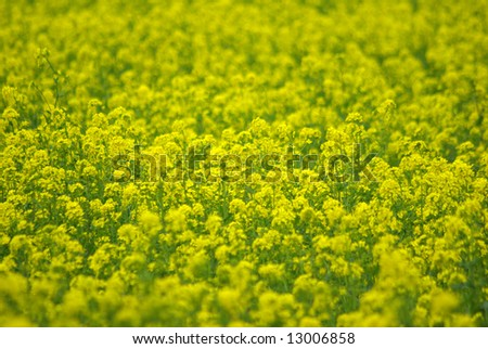 Field of rapeseed yellow flowers
