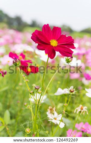 Field of red cosmos flowers  in Thailand