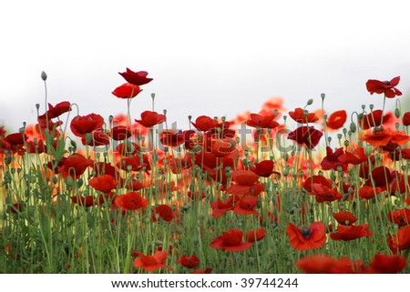 field of red poppies against high-key sky
