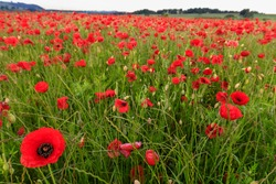 Field of red poppies, beautiful wild flowers in the English Summer countryside of the Derbyshire Peak District National Park, England, United Kingdom