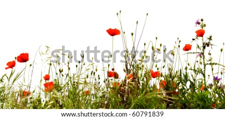 Field of red poppies, isolated on white background #60791839