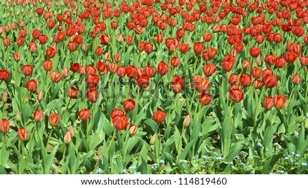 Field of red tulips A field of red tulips.