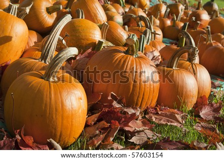 Field of ripe pumpkins amidst fallen leaves on a sunny day. Horizontal shot.