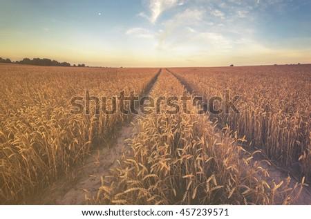 field of ripe wheat  #457239571