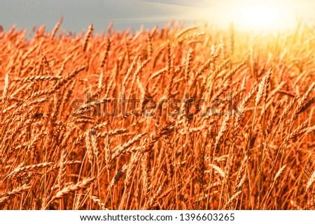 Field of ripe wheat. crop of grain crops. agribiton. #1396603265
