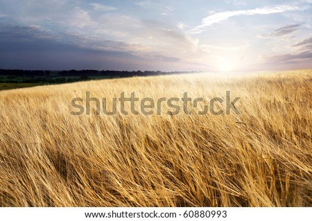 field of ripe wheat in the background of the rising sun