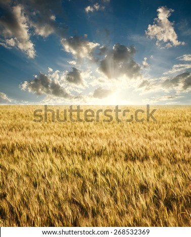 Field of ripe wheat on a background sunrise on blue sky with clouds #268532369