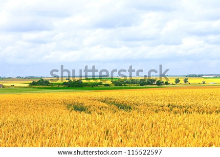 Field of ripe wheat on  hot summer day