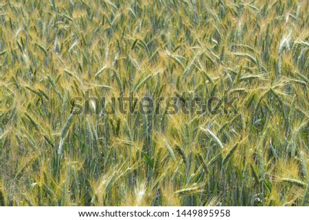 Field of ripening wheat. The vastness of the fields. Crop crops.