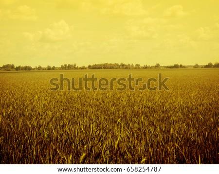 field of rye #658254787