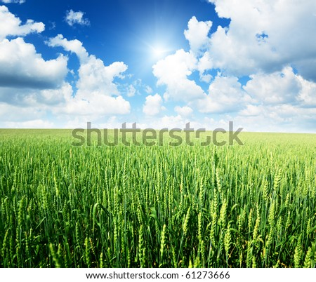 field of rye and sunny day