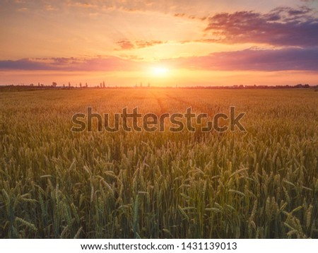 Field of rye at sunset light with ripe ears and beautiful colorful sky with sun, natural agricultural background #1431139013