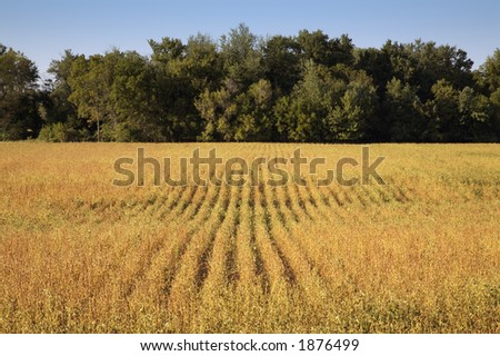 Field of Soybeans close to Harvest