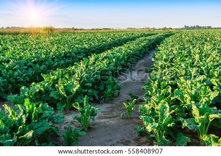 field of sugar beet. Green leaves