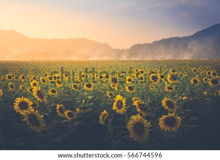 field of sunflower it's look beautiful in the twilight.