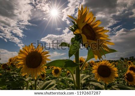 Field of sunflowers #1192607287