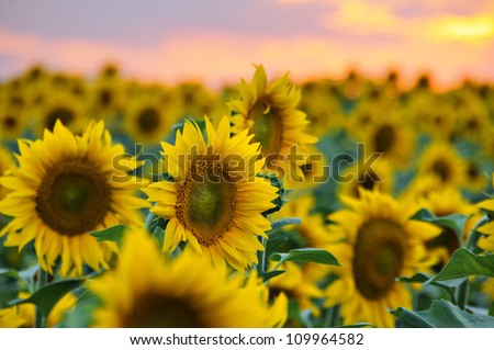Field of sunflowers against beautiful evening sky