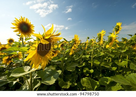 field of sunflowers and blue sky in the background