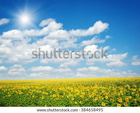 field of sunflowers and blue sun sky #384658495