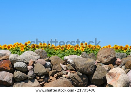 Field of sunflowers behind a stone wall, focus is on the wall