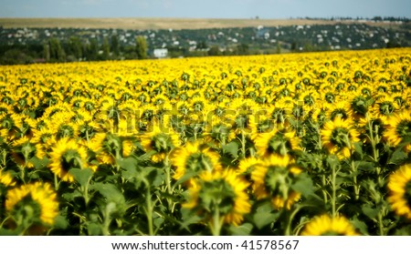 Field of Sunflowers near village