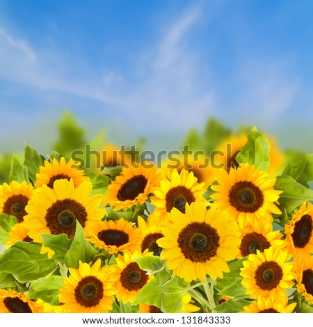 field of sunflowers over blue sky  in sunny day