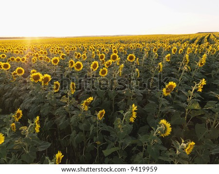 Field of sunflowers planted in rows.