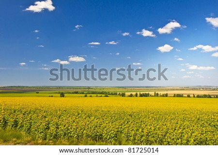 Field of sunflowers. Summer landscape against the blue clear sky.