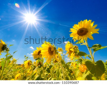 Field of sunflowers under bright sun