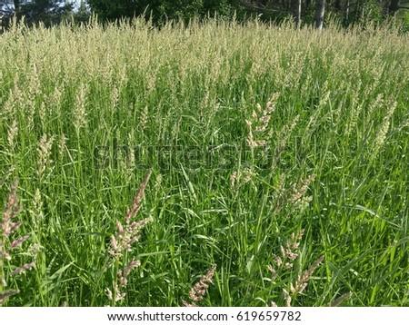 Field of Tall Grass #619659782
