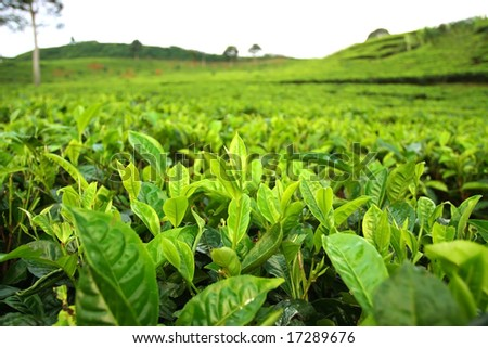 Field Of Tea Plantation. Closeup On Tea Leafs Stock Photo 17289676 ...