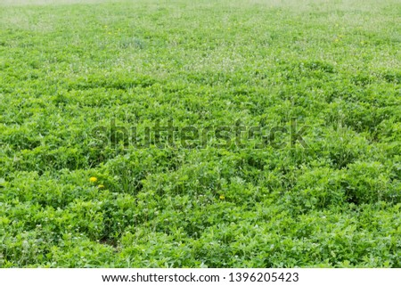 Field of the young alfalfa mixed with other flowering spring plants #1396205423
