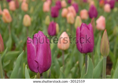 field of tulips 2