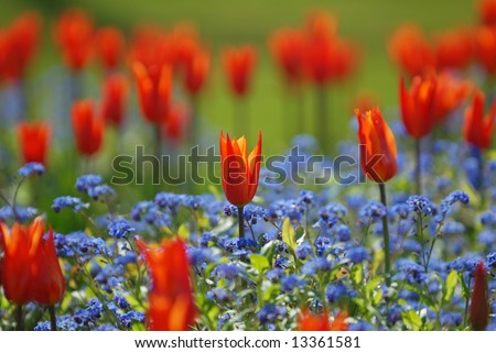 Picture Forget  Flower on Field Of Tulips And Forget Me Not Flowers Stock Photo 13361581