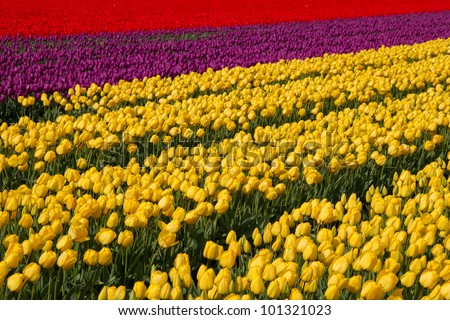 Field of tulips different colors in Holland