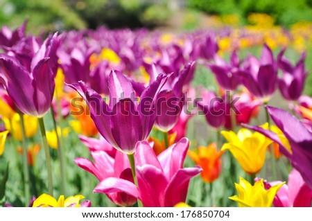 Field of Tulips - Purple, Yellow and Orange bulbs