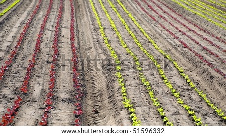 Field of very young red and green lettuces