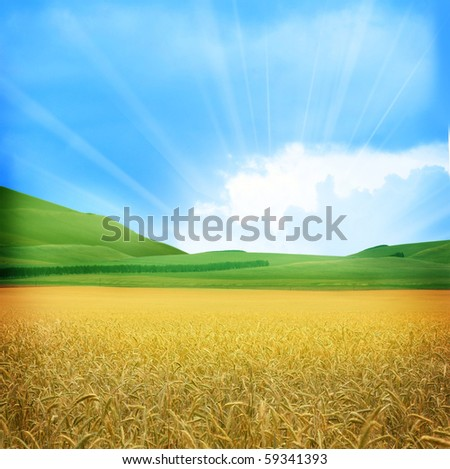 field of wheat - stock photo
