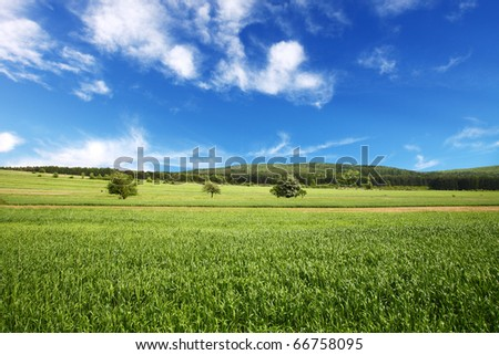 Field of wheat and perfect blue sky
