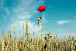 Field of wheat and red poppies against the blue sky.