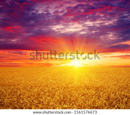 Field of wheat and sun #1161576673