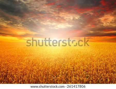Field of wheat and sun #261417806