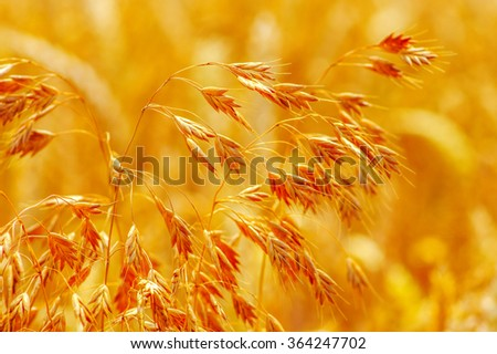 Field of wheat and sun #364247702