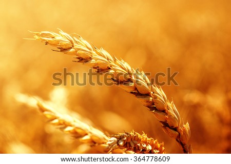 Field of wheat and sun #364778609