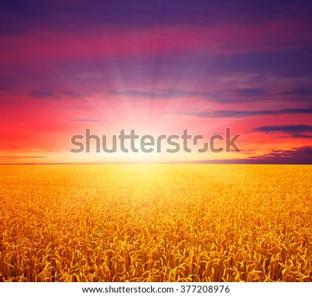 Field of wheat and sun #377208976