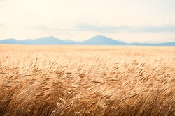 Field of wheat at sunrise in Provence, France. Close up view, selective focus. Beautiful summer nature background.