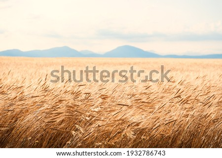Field of wheat at sunrise in Provence, France. Close up view, selective focus. Beautiful summer nature background. Stock foto ©