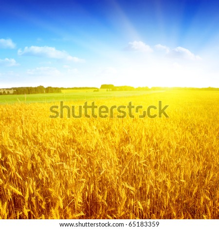 Field of wheat,blue sky and sun.