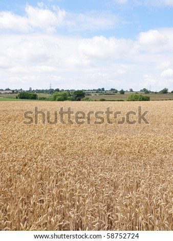Field of Wheat Crops